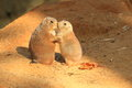 Couple of prairie dogs Royalty Free Stock Photo