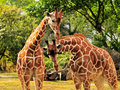 Couple of Reticulated Giraffes Royalty Free Stock Image
