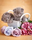 Couple Scottish Fold Cats in decorative wooden box near bouquet of flowers. Picture for a calendar with cats Royalty Free Stock Photo