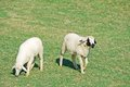 Couple of sheep Stock Images
