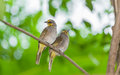 Couple straw headed bulbul straw crowne d bulbul bird catch tree Royalty Free Stock Images