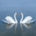 Couple swan Royalty Free Stock Photo