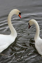 Couple of swans france a are swimming in Stock Photography