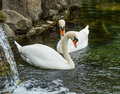A couple of swans Royalty Free Stock Photo