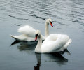 Couple of swans romantic view the white Royalty Free Stock Image