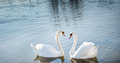 Couple of swans two swan in love forming Royalty Free Stock Images