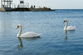 Couple of swans unseparable in a bay on the seashore in clear day Stock Image