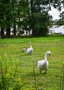 Couple of swans walking on a green meadow, trees and lake in the background
