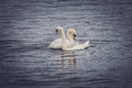 Couple of swans Royalty Free Stock Photo