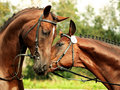 Couple trakehner stallions Stock Photography