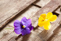 Couple of violet eatable flowers on purple and yeallow on a wooden table close up Royalty Free Stock Photography