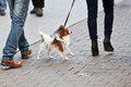Couple walks a papillon Stock Photos