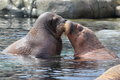 Couple of walruses the in water Stock Image