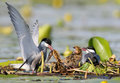 A couple whiskered tern feeding  with little fish two cute chicks on the nest Royalty Free Stock Photo