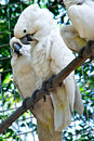 Couple of white cockatoo parrots inside a cage Stock Photography