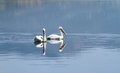 Couple of white pelicans floating on calm lake water Stock Image