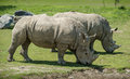 A couple of white rhinoceros grazing together it is beautiful sunny spring day Stock Images