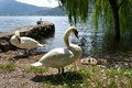 Couple of white swans and their four baby swans reposing at lake Como in summer. Royalty Free Stock Photo