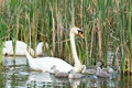 Couple white swans with youngs swmming in reed plants young cygnets Royalty Free Stock Photo