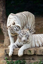 Couple white tigers whispering