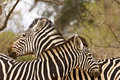 Couple of wild zebras tenderness time kruger south africa close up on at Royalty Free Stock Photo