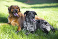 A couple young dogs lounging in the grass after playing Royalty Free Stock Photo