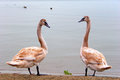 Couple of young swans Royalty Free Stock Photo