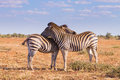 Couple of zebras from Kruger National Park, equus quagga Royalty Free Stock Photo