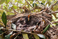 Couples of new born blackbirds Royalty Free Stock Photos