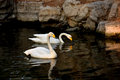 Couples swan Royalty Free Stock Photo