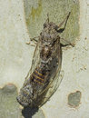 Coupling of two cicadas on a plane tree - Summer in the south of France Royalty Free Stock Photo