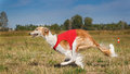 Coursing. Russian borzoi dog running in the field Royalty Free Stock Photo