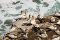 Courting gannets on cliffs australasian Royalty Free Stock Photography