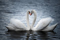Courting mute swans a profile portrait of Royalty Free Stock Image