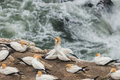 Courting northern gannets close up of Stock Image