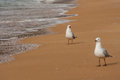 Courting sea gulls picture of Stock Photo