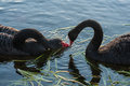 Courting swans close up of Royalty Free Stock Photo