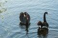 Courting swans on lake black Royalty Free Stock Image