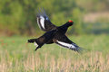 Courtship display of jumping male Black grouse Royalty Free Stock Photo