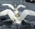 Courtship rituals of mute swans Stock Photo