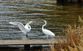 Courtship of white heron couple Stock Photos