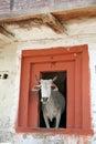 Cow святейшая домашняя гора kullu Индии сельская Стоковая Фотография RF