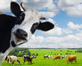 Royalty Free Stock Photo Cow