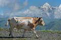 Cow against high mountains background Royalty Free Stock Photo