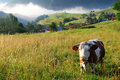 Cow in alp mountains Royalty Free Stock Photo