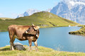 Cow in an alpine meadow jungfrau region switzerland Stock Images