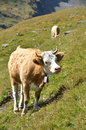 Cow in an alpine meadow jungfrau region switzerland Royalty Free Stock Photography