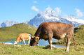 Cow in an alpine meadow jungfrau region switzerland Stock Photography