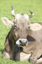 Cow in alps Royalty Free Stock Photo