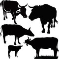 Cow animals calf isolated agriculture Stock Images